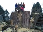 Rizikové kácení-řez stromu