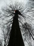 řez stromu